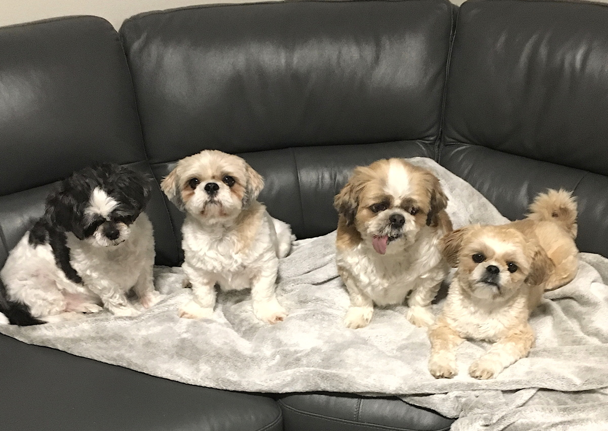 PAW PATROL: Dana Gain's family of four Shih Tzus (from left): Samantha, Shadow, Teddy Bear and Charlie. Photo courtesy of Dana Gain.