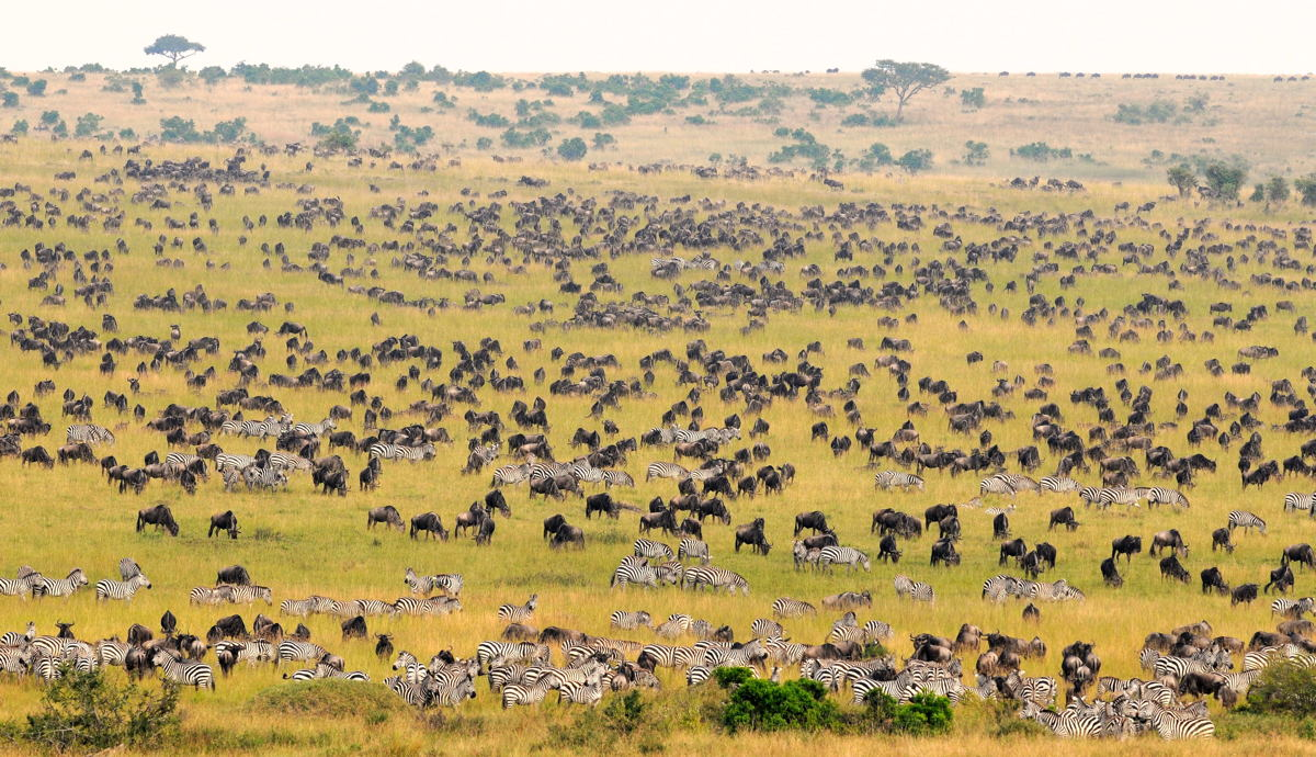 Wildebeest and zebra travel the reserve's grassy plains during their annual migration. Photo courtesy of Goway.