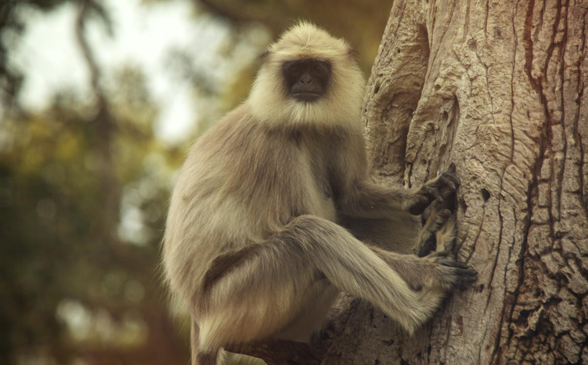 India Mysore Monkey. (Supplied)