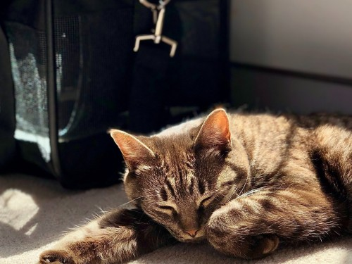 Air Transat now allowing pets in the cabin on connecting flights